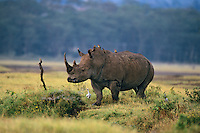 White Rhinoceros at Lake Nakuru National Park, Kenya.
