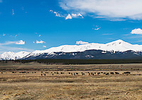 Cattle graze on ranch land along the headwaters of the upper Arkansas River, Colorado, Saturday, May 21, 2016. <br /> <br /> Photo by Matt Nager