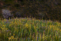 Wildflower meadow with Streptanthus inflatus or Caulanthus inflatus, Desert Candle, California native plants on ridge in Carrizo Plains National Monument, California, spring superbloom wildflowers