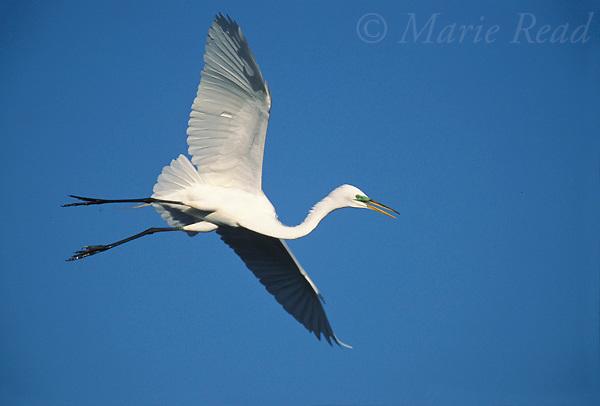 Great Egret (Egretta alba) flying in to land, Venice, Florida, USA<br /> Slide # B17-456