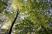 Buchenwald im Frühling, Frühjahr, Hochwald aus Rotbuche, Rot-Buche, Buche, Buchen, Blätterdach, Fagus sylvatica, Common Beech, Europaen Beech, Fayard, Hêtre commun