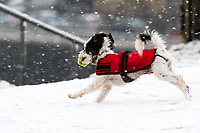 UK Weather: Heavy flurries of snow fall in Aberystwyth, west Wales,  on a cold February morning in Aberystwyth, west Wales, UK. Tuesday 06 February 2018.  JIM, a one year old Chinese Crested, has fun chasing a ball in the snow<br /> The Met Office has issued a 'yellow' warning for snow and ice, as a band of sleet and snow moves in from the west, to cover much of Wales and the north of England