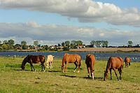 Pferdeweide auf der Insel Poel, Mecklenburg-Vorpommern, Deutschland
