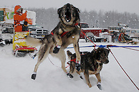 One of Charlie Allison's team dogs is excited to leave the pit area of the 2009 Junior Iditarod on Knik Lake on Saturday Februrary 28, 2009.