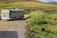 Tour bus and grizzly bear sow and cubs, tundra, Highway pass, Denali Park Road, Denali National Park, Alaska