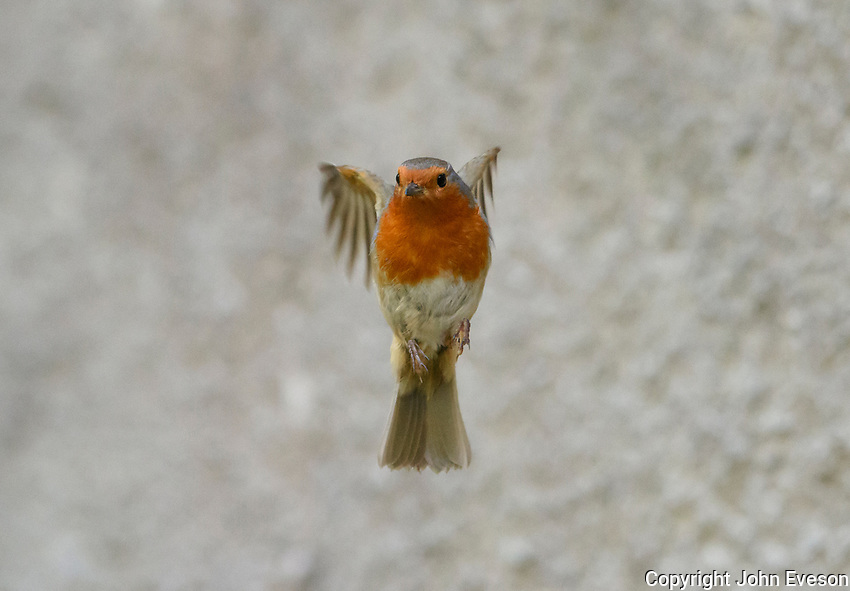 European Robin flying, Chipping, Lancashire.