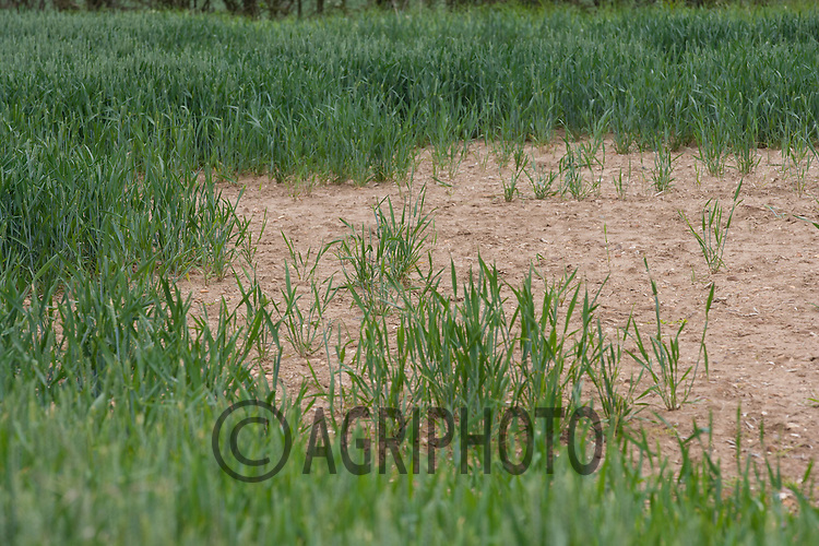 Poor germination in a Winter Wheat Crop<br /> Picture Tim Scrivener 07850 303986<br /> tim@agriphoto.com<br /> ?.covering agriculture in the UK?.