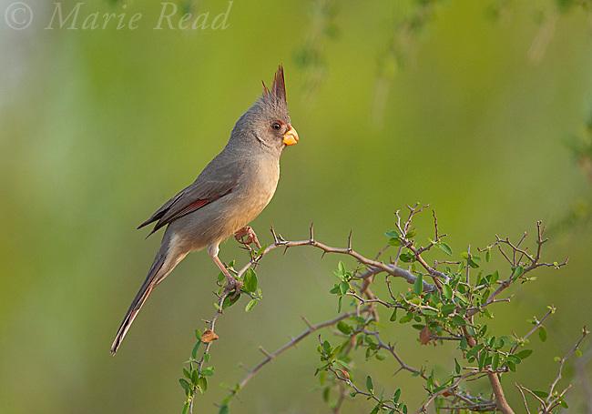 Pyrrhuloxia (Cardinalis sinuatus), female, Rancho Santa Clara, Rio Grande Valley, Texas, USA