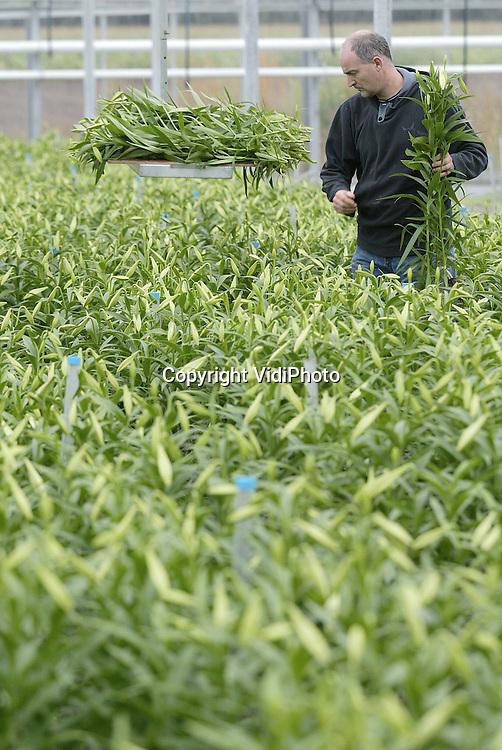 Foto: VidiPhoto..SCHAIJK - Tuinder Jan Janssen uit Schaik oogst lelies in één van zijn kassen. Met dit product valt voor de kweker weer wat te verdienen. Een deel van zijn radijskassen is omgebouwd en geschikt gemaakt voor bloemen. Het gaat al jaren slecht in de radijsteelt. Een groot deel van de telers is al overgestapt op ander produkten.