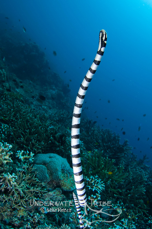 A sea krait or banded sea snake, Laticauda colubrina, heading to the surface to breathe, Raja Ampat, West Papua, Indonesia, Pacific Ocean