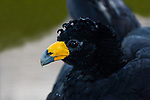 The Black Curassow or Crested Curassow or Smooth-billed Curassow, Crax alector, is a large, ground-dwelling bird found in humid rainforests of northern South America, including Colombia, Venezuela, Guyana, Suriname, French Guiana, and far northern Brazil.