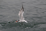Tern with fish in Moss Landing