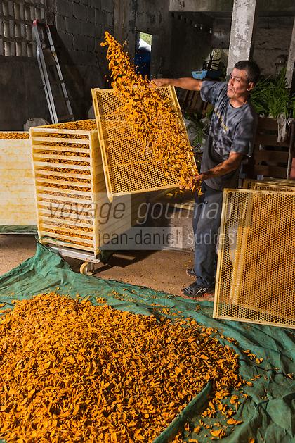 France, &icirc;le de la R&eacute;union, Saint-Joseph, La Plaine des Gr&egrave;gues, culture du curcuma - s&eacute;chage des rhizomes - La Maison du Curcuma //  France, Reunion island (French overseas department), Saint Joseph, La Plaine des Gregues, cultivation of turmeric, drying the rhizomes -  La Maison du Curcuma (Tumeric House)<br /> <br /> Auto N&deg;: 2014 - 115
