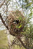 GALAPAGOS ISLANDS, ECUADOR, Tangus Cove, a bird nest seen in a tree on the NW side of Isabela Island