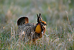 A male greater prairie-chicken in courtship display, Kansas, USA