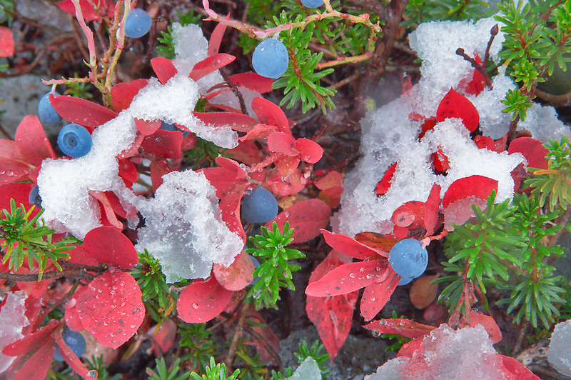 Huckleberry in fall color and first snow of fall. Mt. Baker Wilderness. Washington