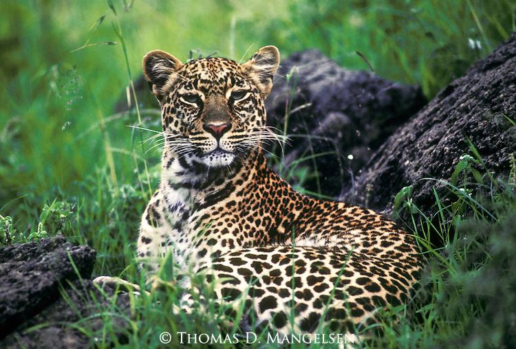 Leopard awaits darkness to begin hunting in the Maasai Mara.