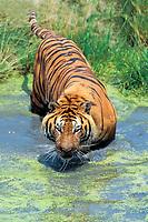 Bengal tiger, or royal Bengal tiger, Panthera tigris tigris, adult, wading in water, endangered species, India, Asia