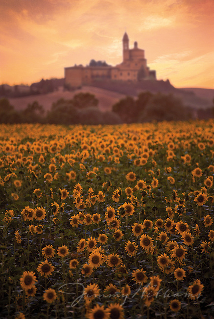 An old castle sits on a hill at the back of a field of sunflowers in Tuscany, Italy