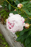 Paeonia Festiva Maxima, heirloom white peony with red markings, peonies with very fragrant flowers