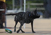 NWA Media/ANDY SHUPE - Dante, a dog owned by Tana Miller of Fayetteville, shakes off water after exiting the pool during the second Soggy Doggy Swim Party Saturday, Aug. 23, 2014, at the Prairie Grove Aquatic Park. The Friends of the Prairie Grove Pound hosted the event as a fundraiser for the facility. Visit nwamedia.photoshelter.com to see more photographs.