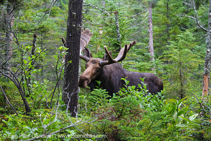 Franconia Notch State Park - Moose on the side of Lonesome Lake Trail in the White Mountains, New Hampshire USA