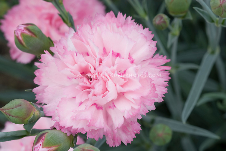Dianthus candy floss scent first series fragrant perennial plant dianthus candy floss scent first series fragrant perennial closeup of pink scented flowers mightylinksfo