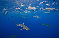 RM0791-D. Silky Sharks (Carcharhinus falciformis), dozens gathered together to feed on small fish in baitball (in background). Baja, Mexico, Pacific Ocean. <br /> Photo Copyright &copy; Brandon Cole. All rights reserved worldwide.  www.brandoncole.com