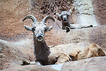 Female big horn sheep with baby sheep