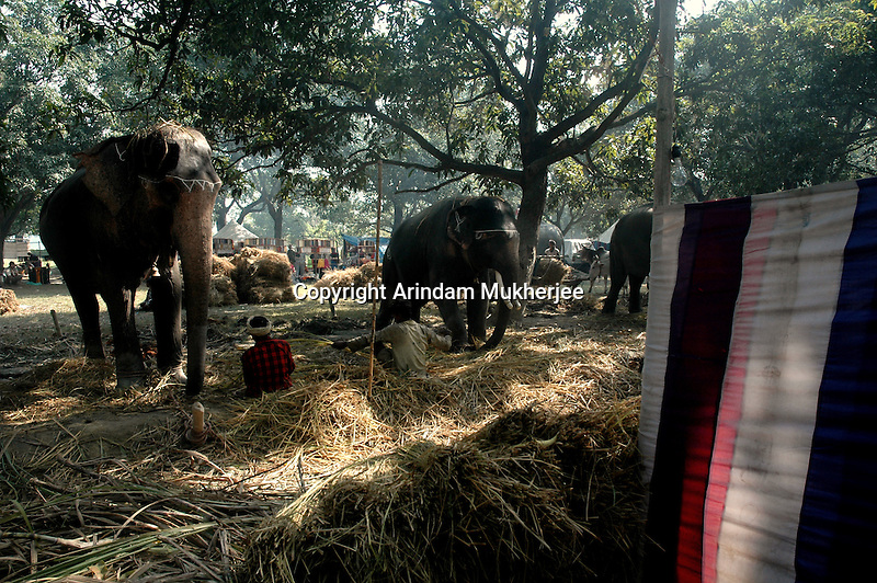 Elephants for sale at Sonepur fair ground. Bihar, India, Arindam Mukherjee