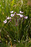 Schwanenblume, Schwanen-Blume, Blumenbinse, Butomus umbellatus, Flowering Rush, Water Gladiolus, Jonc fleuri, Blume des Jahres 2014