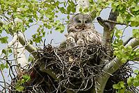Great Gray Owl (Strix nebulosa). Grand Teton National Park, Wyoming. May.