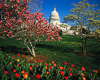 U.S. Capitol, Washington, District of Columbia   Spring foliage on National Mall