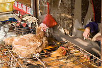 Chicken standing on top of cage in Chinese market area, Shanghai