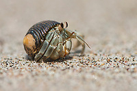 Ecuadorian Hermit Crab (Coenobita compressus) in the sand, Manuel Antonio National Park, Puntarenas Province, Costa Rica, Central America
