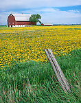 Manitowoc County, WI: Red barn with fence and field of spring dandelions
