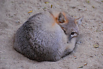 resting swift fox