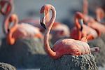 American Flamingo (Phoenicopterus ruber) colony. Yucatan, Mexico.