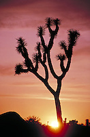 silhouette of cactus plant at dusk with pink sky and setting sun. California USA Joshua Tree National Park.