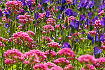 Common Valerian, Valeriana officinalis , Andalusia, Andalucia, Wild flower meadow, pink, blue.Spain....