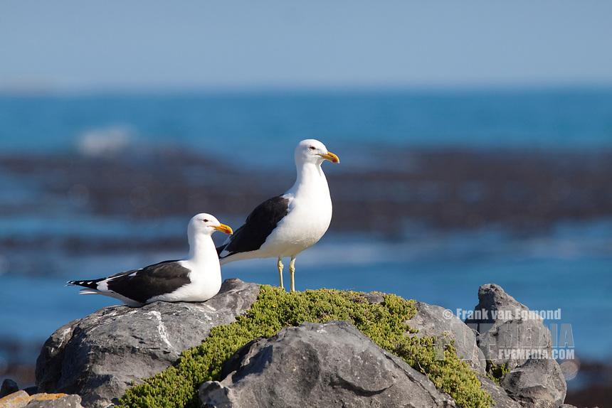 Kelp Gull (Larus dominicanus), Gansbaai, South Africa.