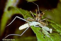 1M27-009c  Assassin Bug eating chinese praying mantis nymph