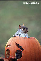 MA23-216z   Gray Squirrel - looking out of carved Halloween pumpkin  - Sciurus carolinensis