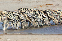 A line of zebras drinking from a water hole in Etosha, Namibia
