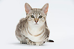Australian Mist Cat - Brown Marble Colour - 6 months old, Female