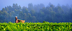 A worker labors on a tea plantation in near Thyolo, in southern Malawi.