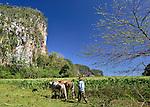 A Cuban farmer and his oxen bordering his tobacco field ... Vinales, Cuba