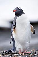 South Georgia Island, Moltke Harbor, Gentoo penguin (Pygoscelis papua)