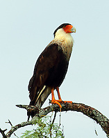 Adult crested caracara