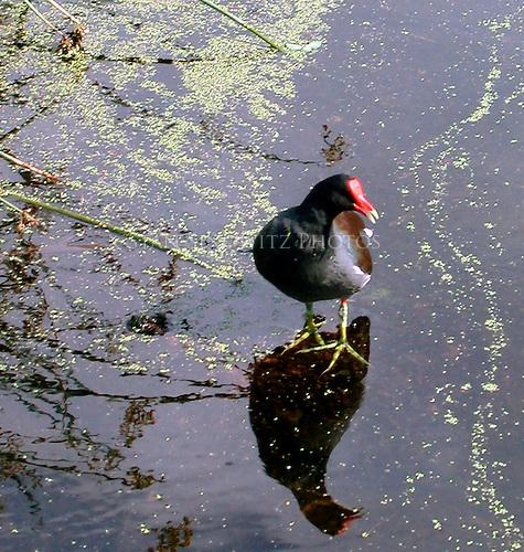 Bird walking on water?